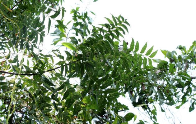 neem-l-arbre-ayurvedique-qui-guerit-tous-les-maux